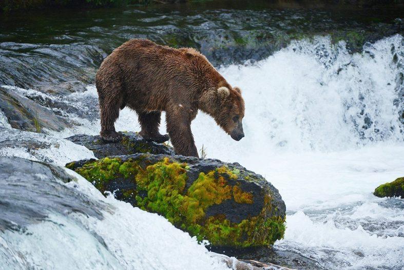 Medvěd Grizzly, Národní park Katmai Kanada