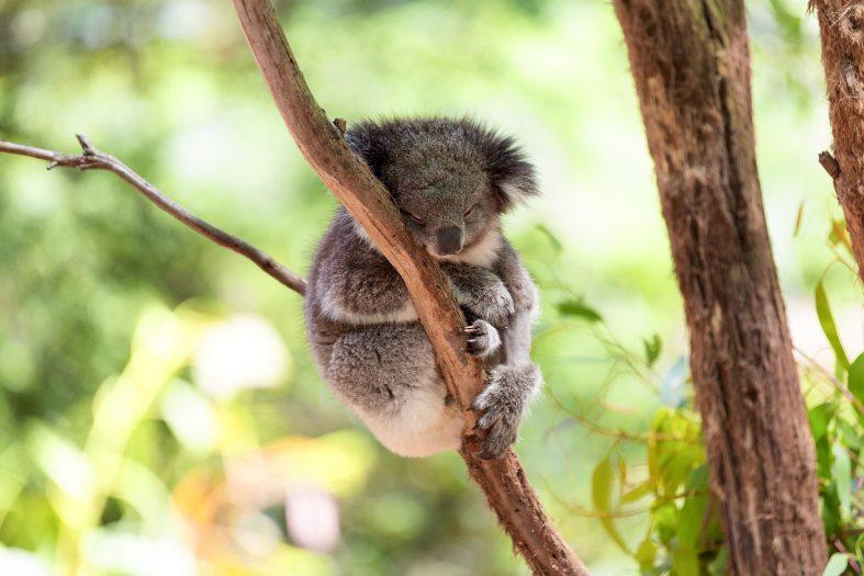 Medvídek koala spící na eukalyptu