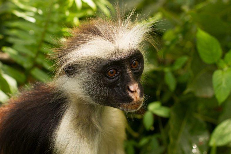 Opice Red Colobus, Národní park Zanzibar