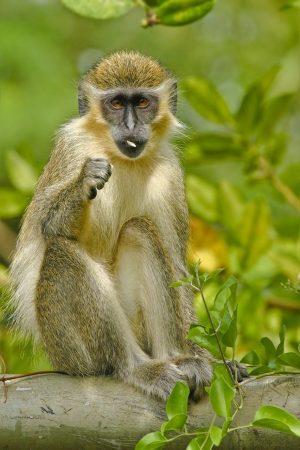 Vzácné zelené opice