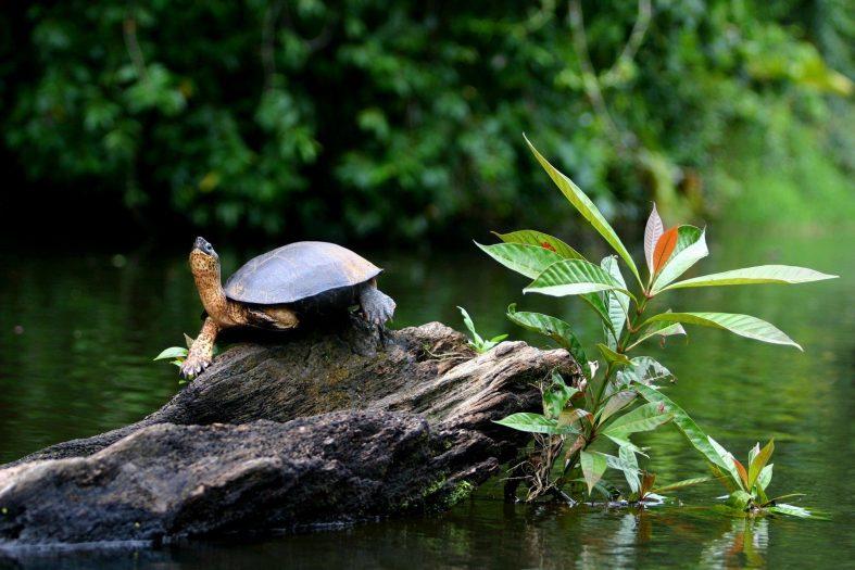 Zelená mořská želva, park Tortuguero