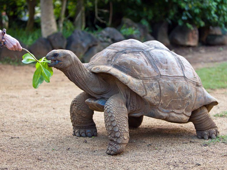 Želva obrovská v zooparku La Vanille